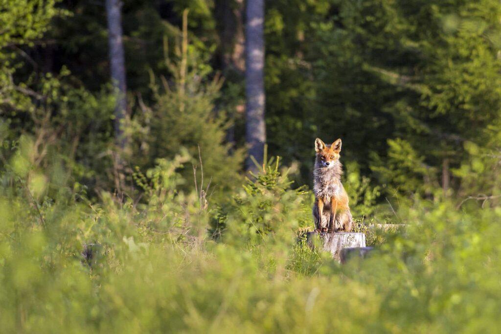 Ein Fuchs erspäht das Tageslicht