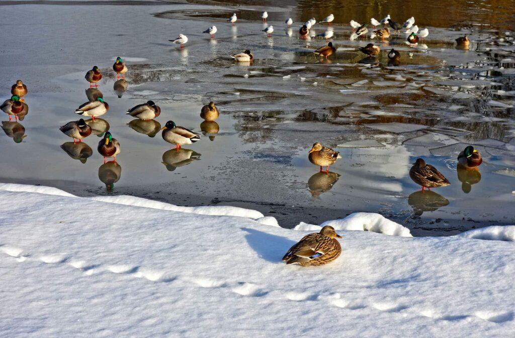Viele Enten sitzen auf einem gefrorenen See
